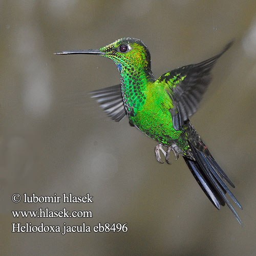 Blue-throated Flying Dolphin Green crowned Brilliant Green-crowned Green-fronted Brillante Coroniverde frentiverde Colibrí Jacula Vihersäihkykolibri Brillant couronné vert fer-de-lance Brillante capoverde Colibrì diamante corona verde ミドリボウシテリハチドリ Groenkruin-briljantkolibrie Blåsmykkebriljant Brylancik niebieskogardly Kolibrík šípový Heliodoxa jacula Kolibřík subtropický zelenotemenný Grønisset Brillant Grünscheitelbrillant Grünscheitel-Brillant Grünstirn-Brilliantkolibri Grüscheitelbrillant
