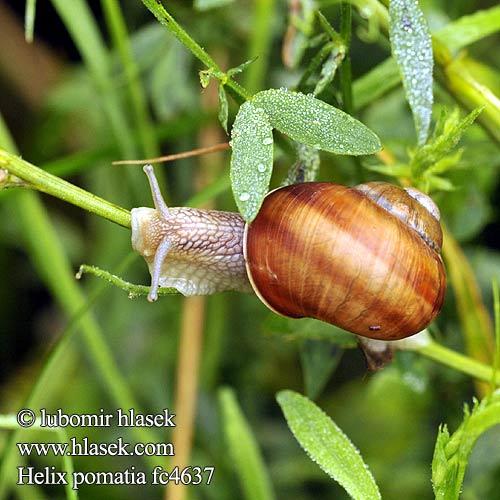 盖罩大蜗牛 wijngaardslak chiocciola エスカルゴ éti csiga