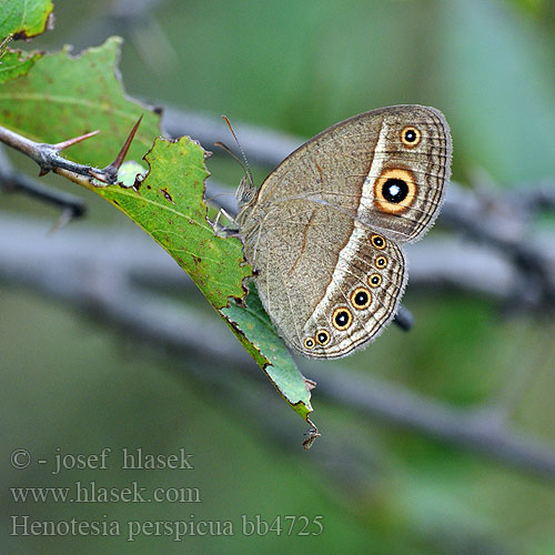 Eyed bush brown Marsh patroller Henotesia perspicua