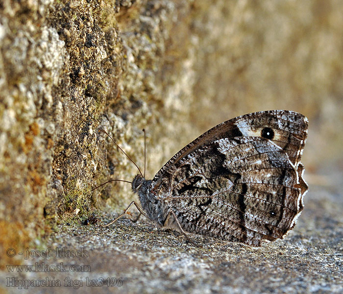 Woodland Grayling Hipparchia fagi