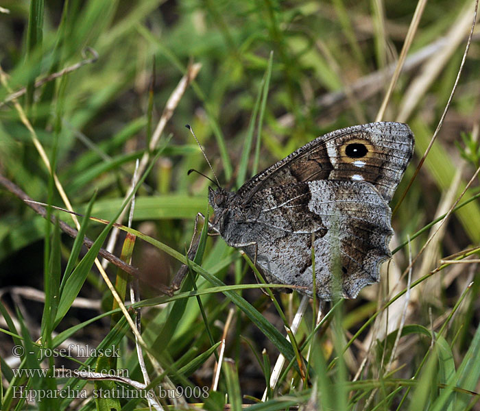 Hipparchia statilinus Tree Grayling Faune