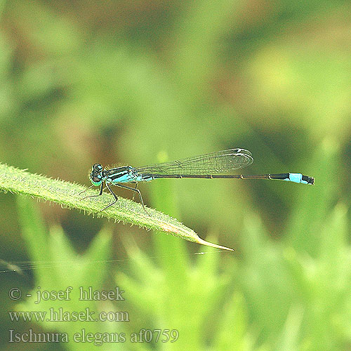 Ischnura elegans Blue-tailed Damselfly Common Bluetail
