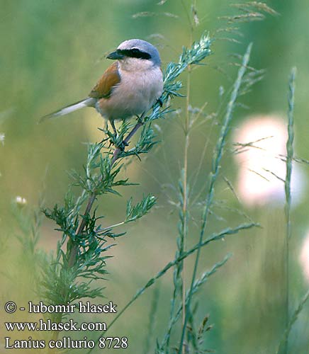 Lanius collurio Red-backed Shrike Neuntöter Pie-grièche