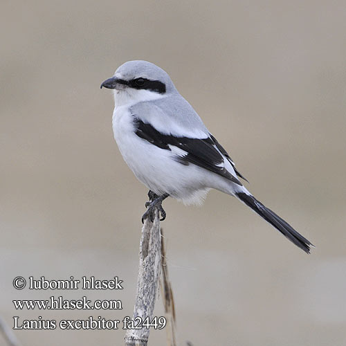 Great Grey Shrike / Klapekster / Lanius excubitor Photo Gallery by ...
