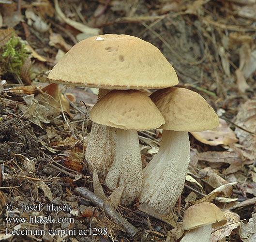 http://www.hlasek.com/foto/leccinum_carpini_ac1298.jpg