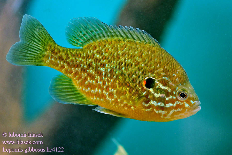 Lepomis gibbosus Slunečnice pestrá Persico sole Gemeiner Sonnenbarsch Perca sol Bass słoneczny Zonnebaars Naphal Pumpkinseed Pond perch Common sunfish Punkys Crapet-soleil Perche arc-en-ciel Слънчева рибка Peix sol Sunčanica Paprastasis saulešeris Обыкновенная солнечная рыба Sončni ostriž Сунчаница риба Aurinkoahven Solabborre Царьок 駝背太陽魚 Slnečnica pestrá