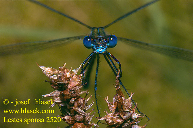 Lestes sponsa Emerald damselfly Common Spreadwing