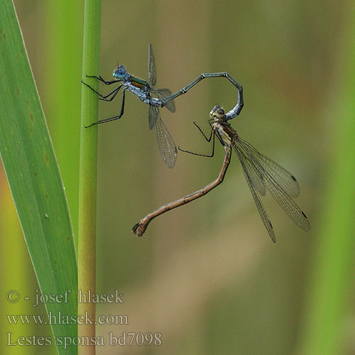 Emerald damselfly Common Spreadwing Almindelig