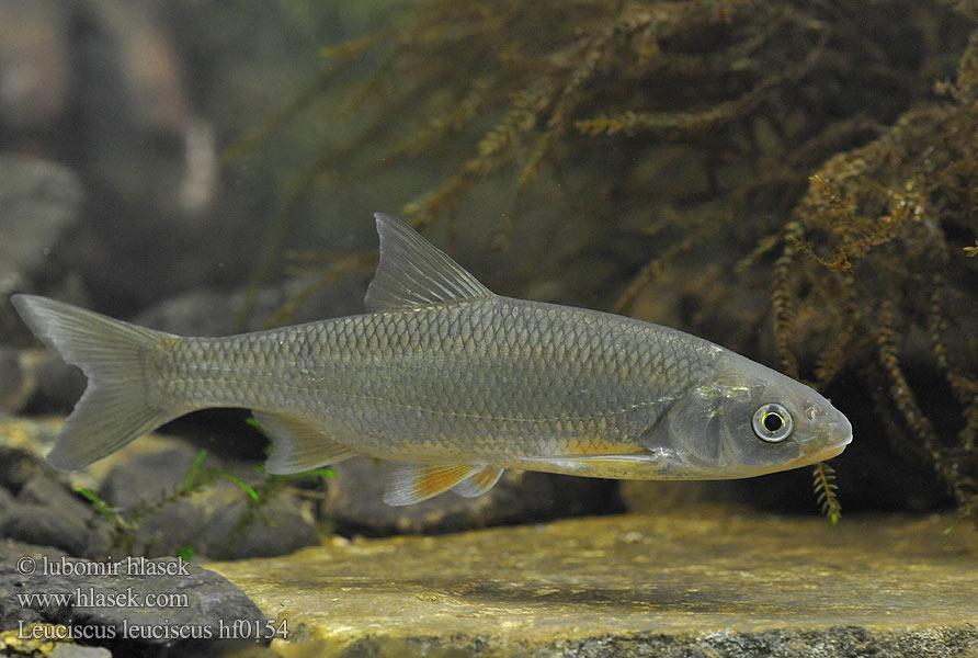 leuciscus leuciscus hf0154 uk common dace cz jelec proudn?k de hasel ...