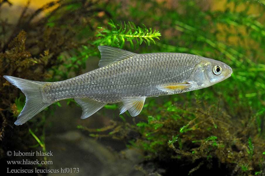leuciscus leuciscus hf0173 uk common dace cz jelec proudn?k de hasel ...