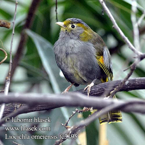 Liocichla omeiensis fc3195