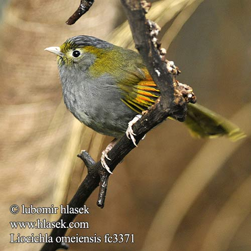 Liocichla omeiensis fc3371