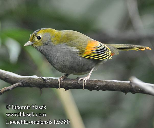 Liocichla omeiensis fc3380