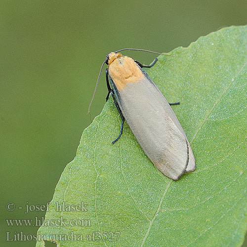 Lithosia quadra  Stor lavspinnare lavspinner Isokeltasiipi Four-spotted Footman