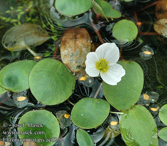 Luronium natans Floating Water Plantain Froschkraut