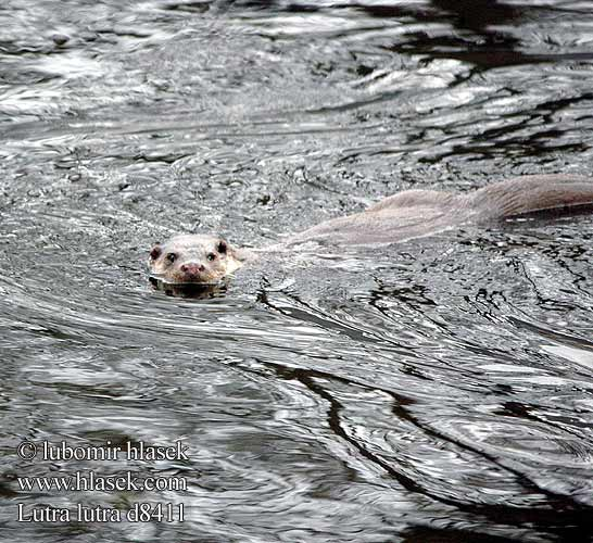 Выдра Lutra lutra European otter Loutre Europe Fischotter
