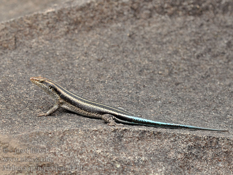Mabuja pětipruhá Blue Tailed Skink Rainbow Mabuya Five-lined
