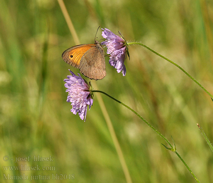 Maniola jurtina Meadow Brown Myrtil