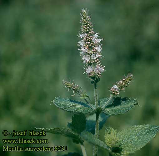 Mentha Suaveolens Apple Mint Mentha Rotundifolia