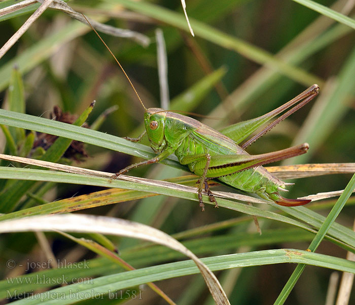 Coloured bush cricket Decticelle bicolore Lichtgroene Sabelsprinkhaan