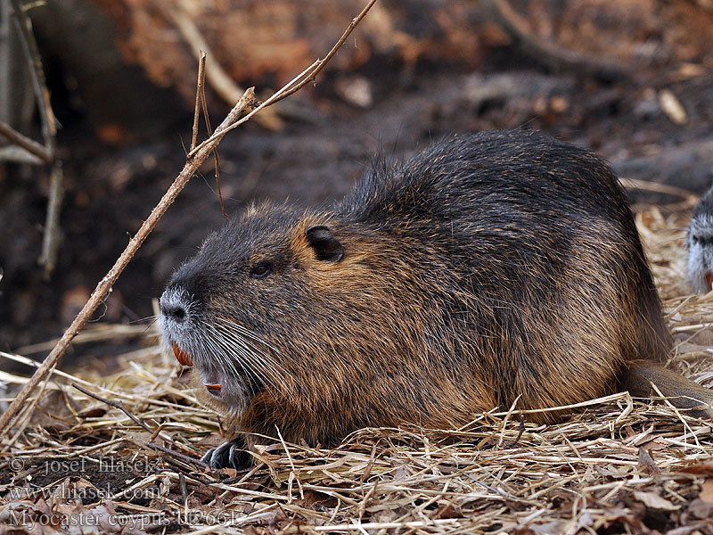 Myocastor_coypus_bt2661