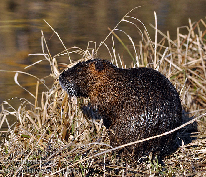 Myocastor_coypus_bt2848