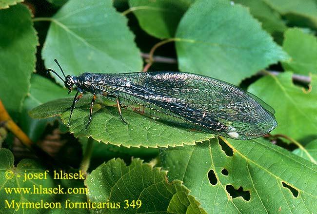 Identification insecte volant non identifi - Insecte vert volant ...