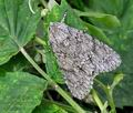 Acronicta_aceris_hz4137