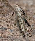 caloptilia_populetorum_cs3320s