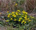 Caltha_palustris_bj2381
