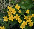 Caltha_palustris_bj2407