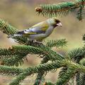 Carduelis_chloris_be8886