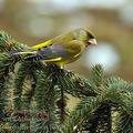 Carduelis_chloris_be8902