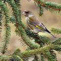 Carduelis_chloris_be8932