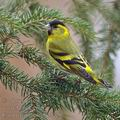 Carduelis_spinus_be9229