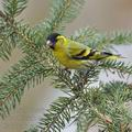 Carduelis_spinus_be9240