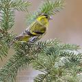 Carduelis_spinus_be9492