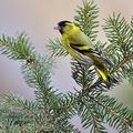 Carduelis_spinus_be9557