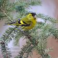 Carduelis_spinus_be9750