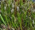 Carex_davaliana_bt4818