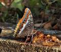 Charaxes_jasius_bx3872