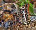 Charaxes_jasius_bx3994