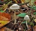 Coprinus_impatiens_cr7996