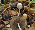 Coprinus_impatiens_cr8014