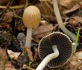 Coprinus_impatiens_cr8018s