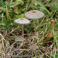 Coprinus_plicatilis_am0447