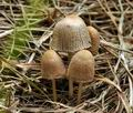 Coprinus_plicatilis_bk2191
