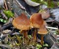 Cortinarius_saniosus_bp3999