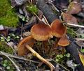 Cortinarius_saniosus_bp4002