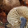 Entoloma_placidum_be2626